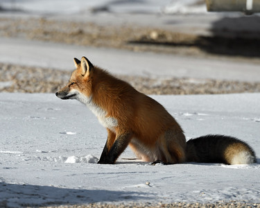 Red Fox 4, Churchill, Manitoba