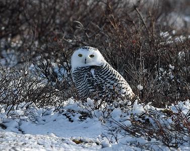Snowy Owl 4, Churchill, manitoba