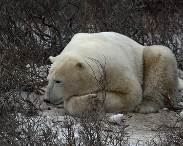 Polar Bear 4, Churchill, Manitoba