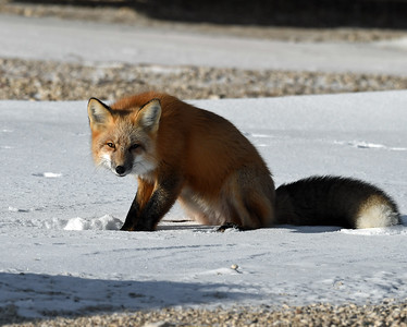 Red Fox 2, Churchill, Manitoba