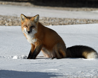Red Fox 1, Churchill, Manitoba