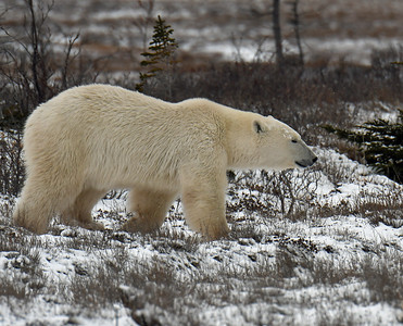 Young Polar Bear 3, Churchill, Manitoba