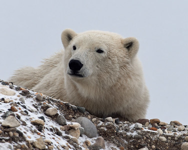 Lonely Juvenile Polar Bear, Churchill, Manitoba