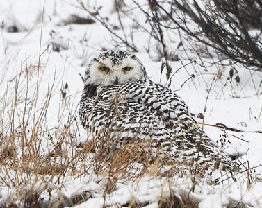 Snowy Owl 2, Churchill, Manitoba