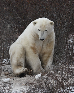 Polar Bear 8, Churchill, Manitoba