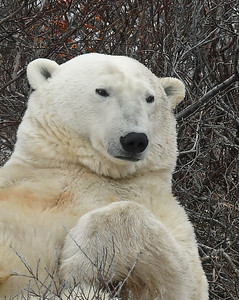 Polar Bear Portrait 3, Churchill, Manitoba
