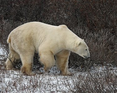 Polar Bear 15, Churchill, Manitoba
