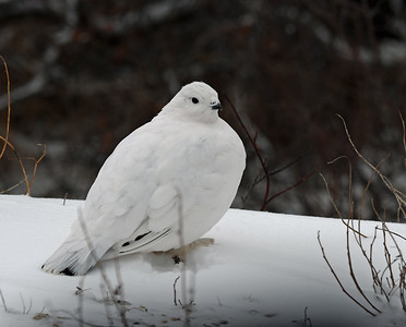 Willow Ptarmigan 1, Churchill, Manitoba