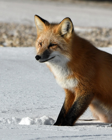 Red Fox Portrait 3,  Churchill, Manitoba
