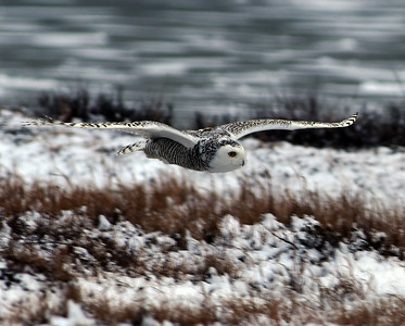 Snowy Owl In Flight, Churchill, Manitoba