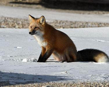 Red Fox 3, Churchill, Manitoba