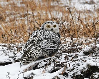 Snowy Owl 1, Churchill, Manitoba