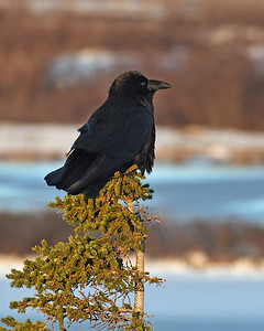Raven, Churchill, Manitoba