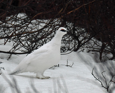 Rock Ptarmigan 1, Churchill, Manitoba