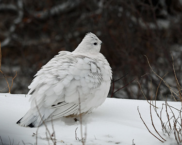 Willow Ptarmigan 2, Churchill, Manitoba