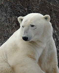 Polar Bear Portrait 1, Churchill, Manitoba