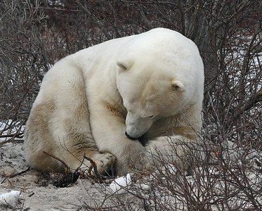 Polar Bear 12, Churchill, Manitoba