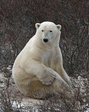 Polar Bear 2, Churchill, Manitoba