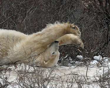 Polar Bear 6, Churchill, Manitoba