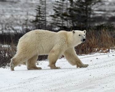 Young Polar Bear 1, Churchill, Manitoba