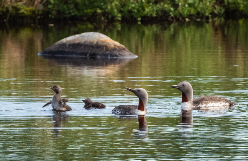 Red-throated Loons and chicks