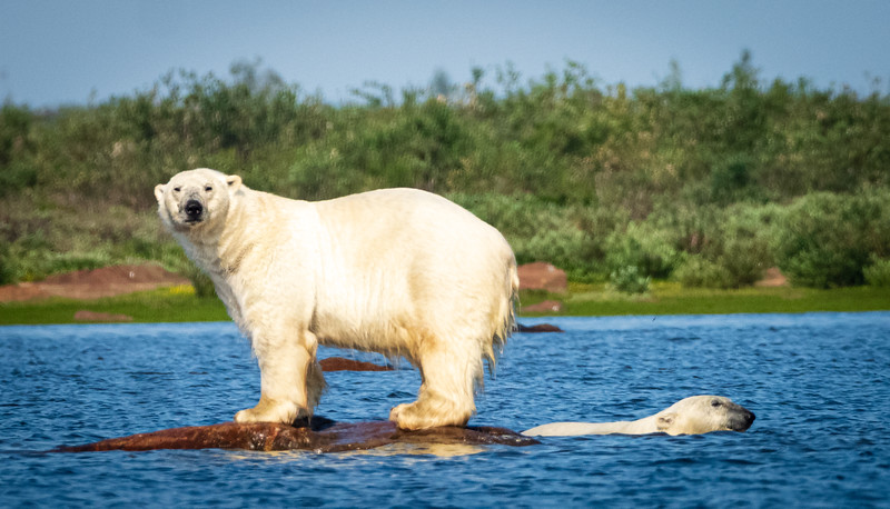 Bears looking for a Beluga