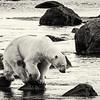Bear on Rocks ,( BW)