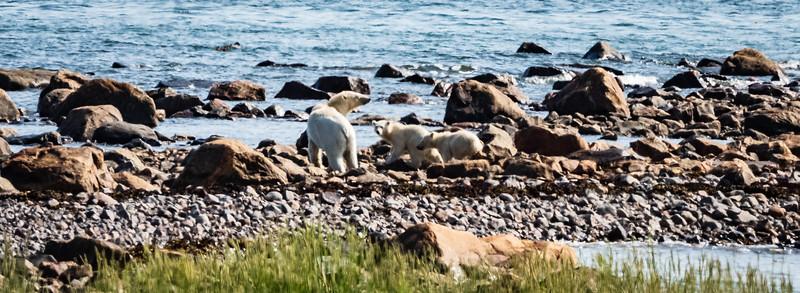 Female Polar Bear and her cubs