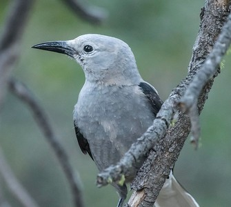 Clark's Nutcracker and Friends at Agua Dulce 9-19-18