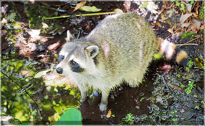 While walking through the swamp walk, this little guy was seen exploring the marsh.  He stopped to check out a group of people before going about his business.