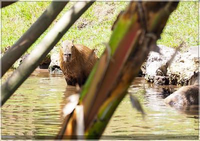 Gatorland had capybaras!