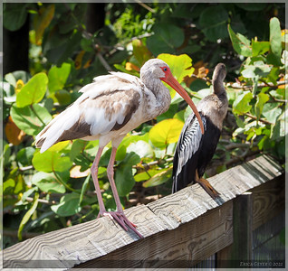 There are lots of Ibis here in Central Florida, but it's only the occasional one that has colored feathers.  I don't know if it's an age thing or a different kind all together.