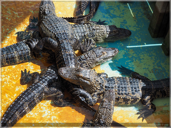 Just a pile of Baby Gators.
