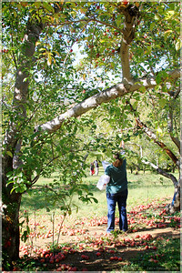 Rebecca picking the first apples.