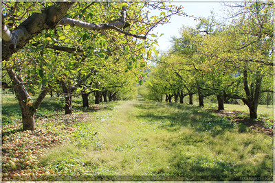A nice view of the orchard