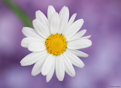 Daisy with Hydrangea background