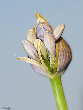Agapanthus Bud