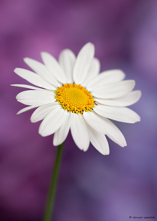 Daisy with Hydrangea back ground