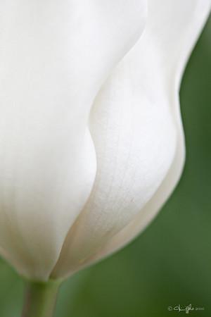Longwood Gradens White Tulip