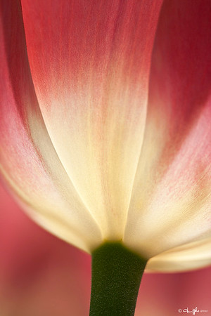 Longwood Gardens Tulip Finalist ~  Better Photo