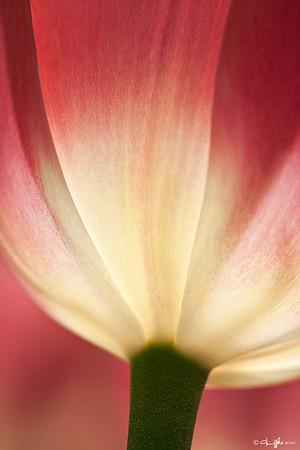 Longwood Gardens Tulip Finalist ~  Better Photo