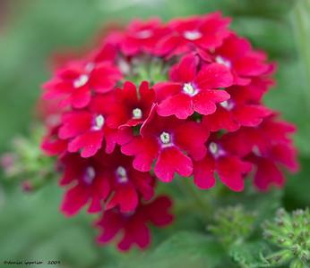 Red Verbena