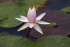 Water lily with flower