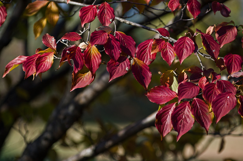 Dogwood leaves in Autumn