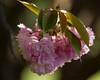 Kwanzan cherry flowers