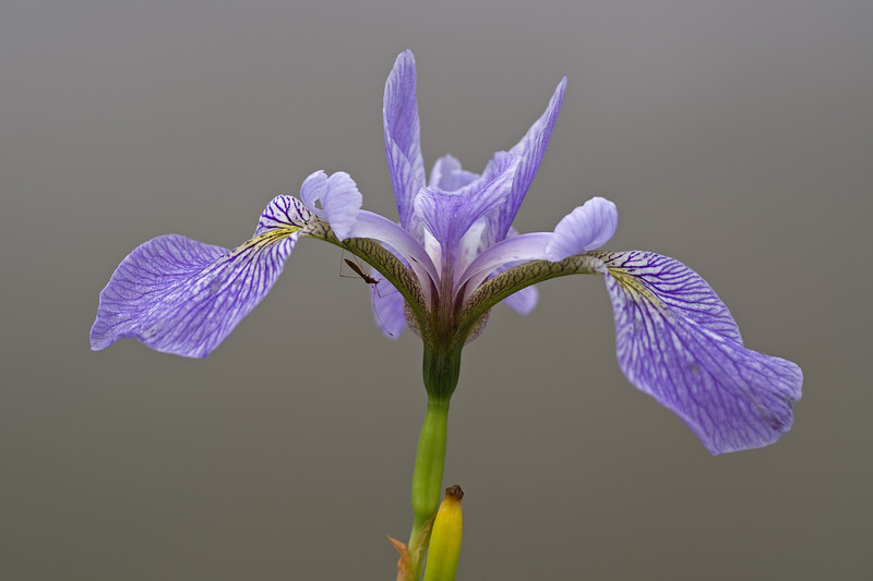 Iris with a mosquito