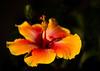 Hibiscus poem