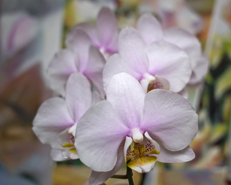 Phalaenopsis in 21mm