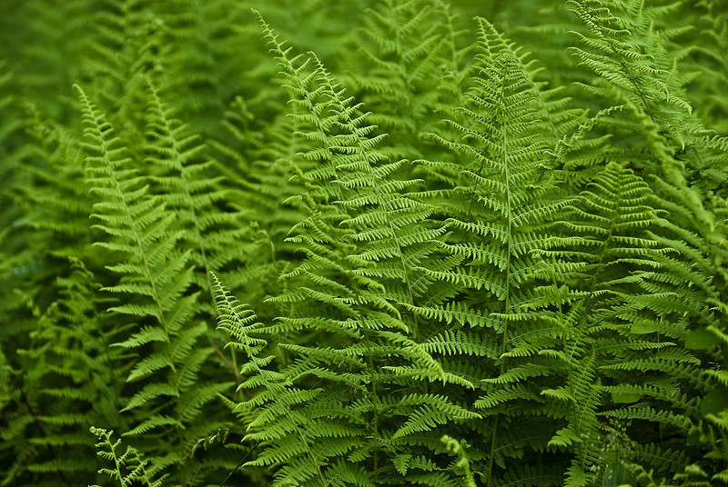 Fern refinement