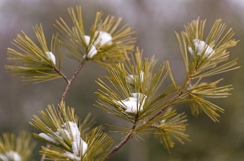 Needles and snow